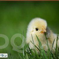 تخم مرغ هچ شده