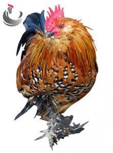 مرغ بلژیکی