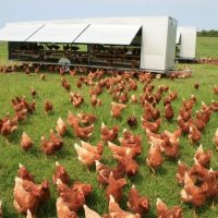 استراتژی های تغذیه ای در مرغ های مادر گوشتی