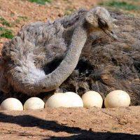 تاریخچه تکاملی و خصوصیات شتر مرغ