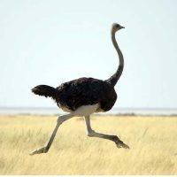 رفتار های جمعی شتر مرغ ها