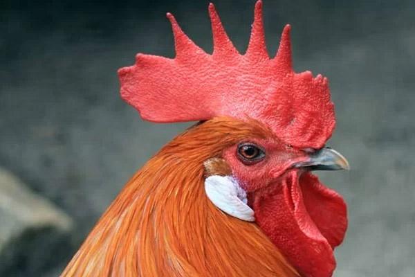 تولید مرغ گوشتی