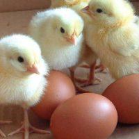 ضریب-تبدیل-پرندگان