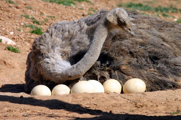 تخم نطفه دار شتر مرغ