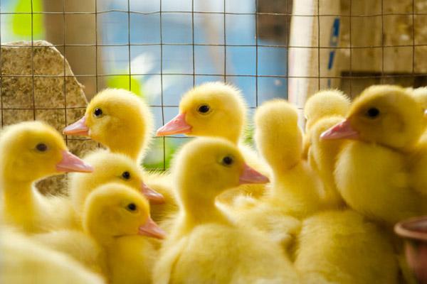 جوجه کشی اردک