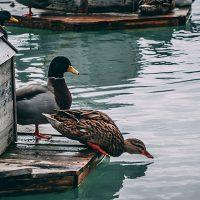 گوشت اردک