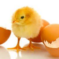 انکوباسیون تخم مرغ بر کیفیت جوجه
