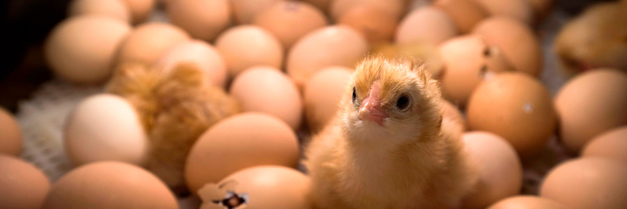 علت در نیامدن جوجه مرغ