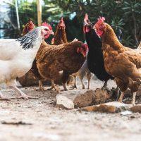 نگهداری و پرورش مرغ بومی