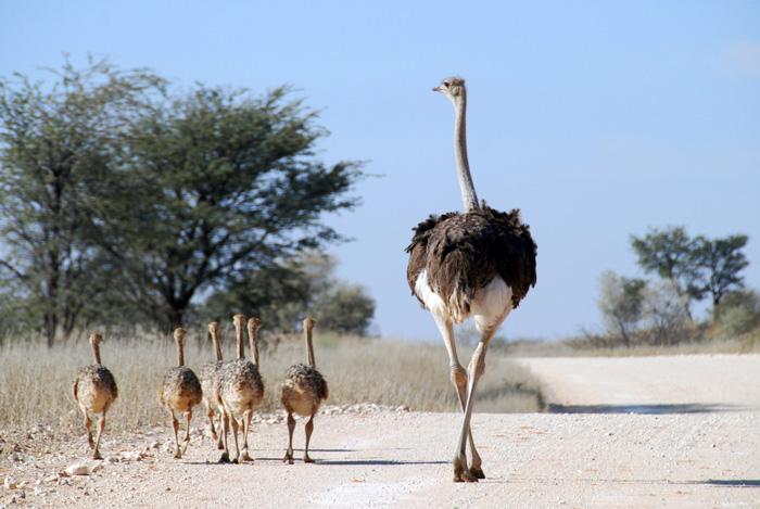 پرورش و جوجه کشی شتر مرغ