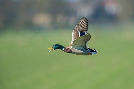 دستگاه جوجه کشی اردک