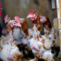 ریزش پر مرغ درمان پر ریزی