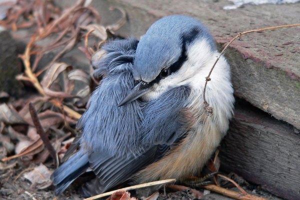 کمبود کلسیم در پرندگان یا هیپوکلسیم
