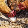 خوردن تخم در مرغ ها