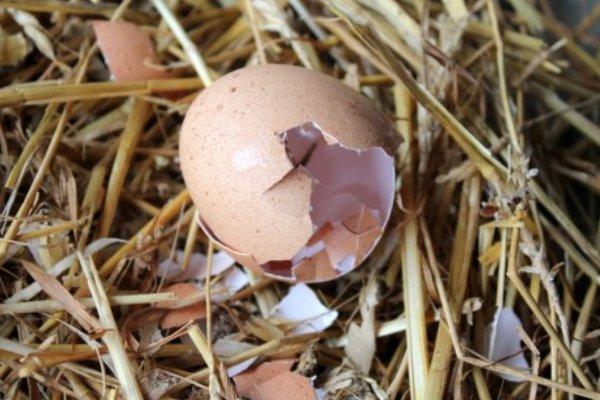 علل خوردن تخم در مرغ ها