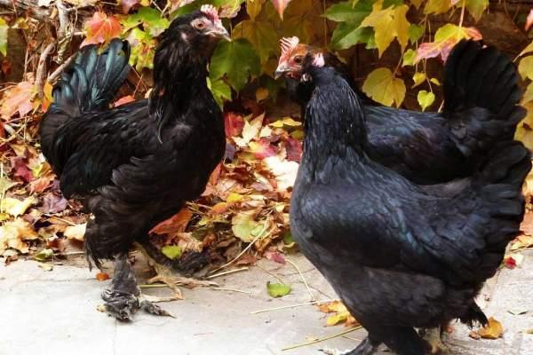 مرغ مرندی