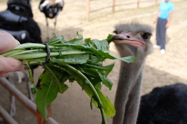 مواد اصلی در تغذیه شترمرغ