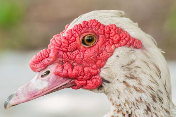 اردک موسکویی نر
